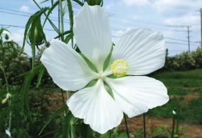 モミジアオイの花